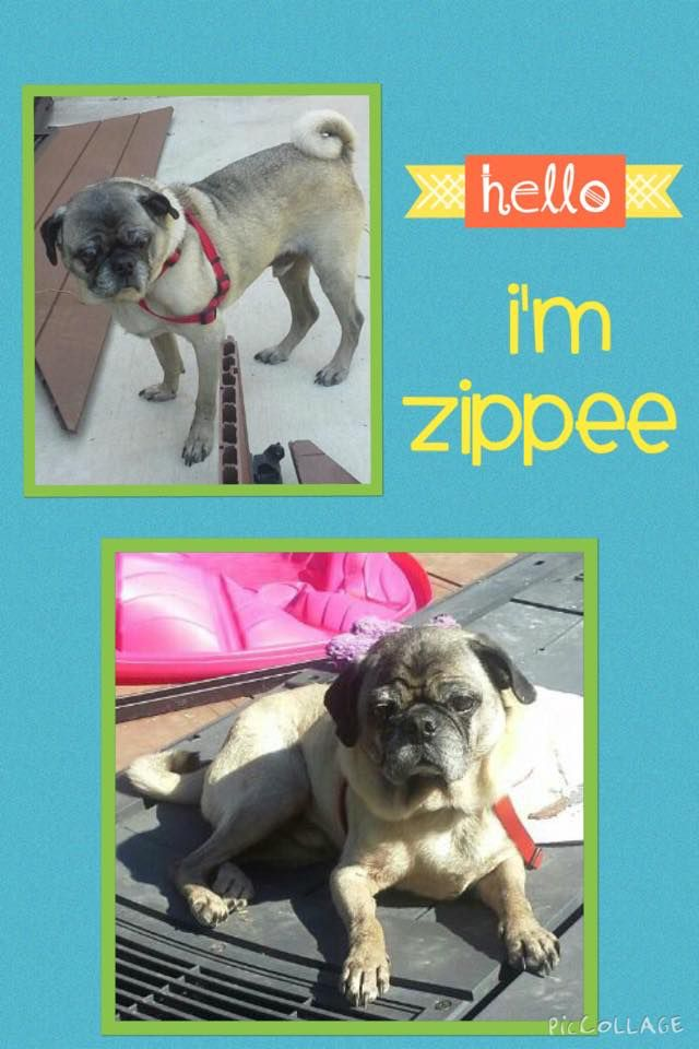 Hi My Name Is Zippee I Am An Active 10 Year Old Senior Boy I Am