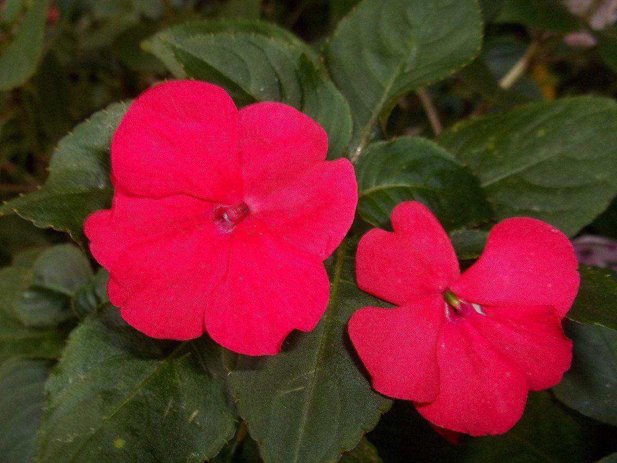 Alegr a del hogar buscar con google flores rita susana pinterest alegria buscar con - Planta alegria del hogar ...
