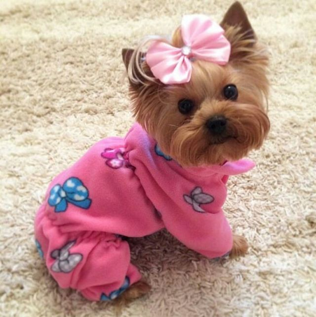 119e21aeb21a672c954c164497812eb9.jpg 640×641 pixels   Yorkie dogs, Yorkshire terrier puppies ...