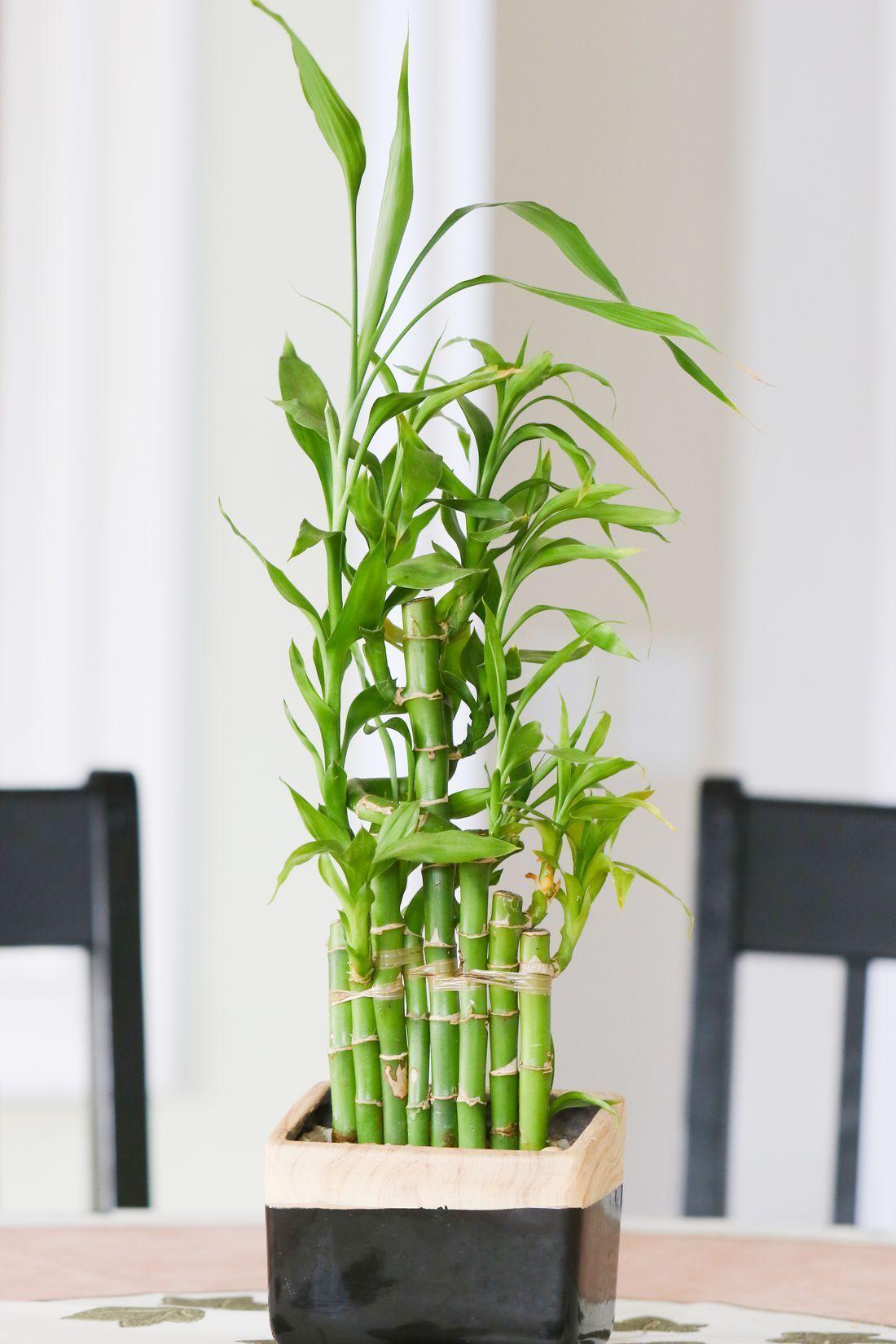 Bamboo plant indoor Indoor bamboo plant, Bamboo plant