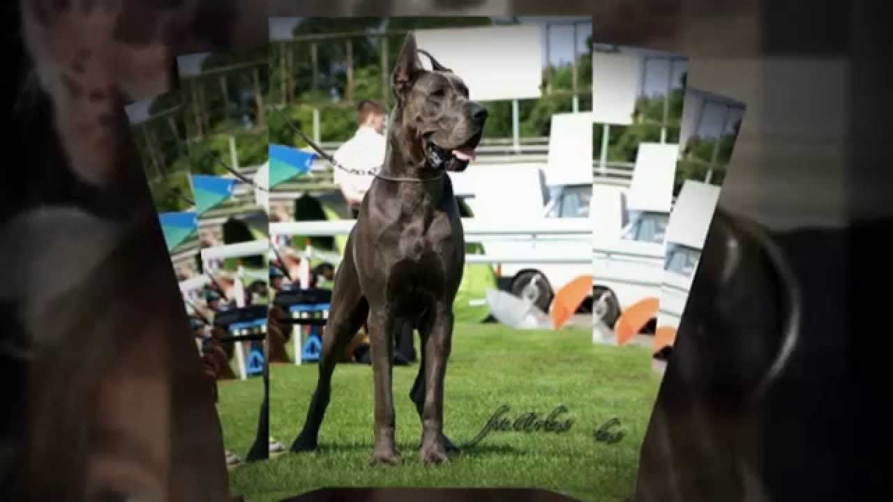 Pky Danes Breeders Of Championship Quality Great Danes Great Dane Puppy Dog Breeder Great Dane