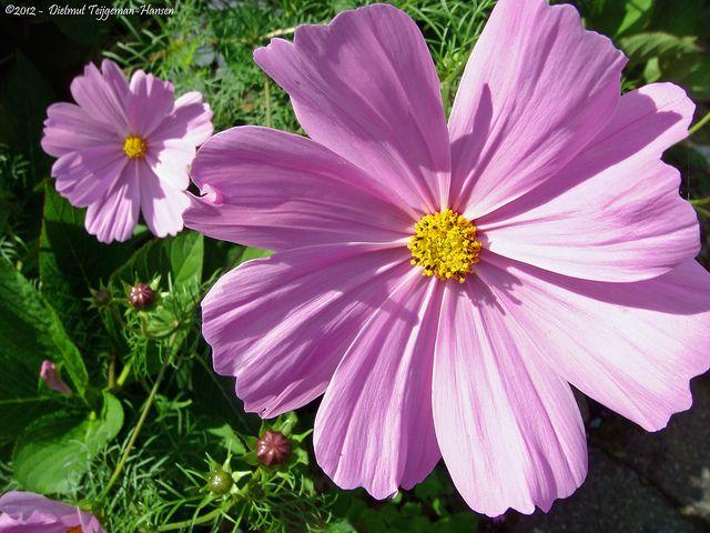 Cosmea Cosmos Bininatus By Dietmut Via Flickr Plants Cosmos Garden