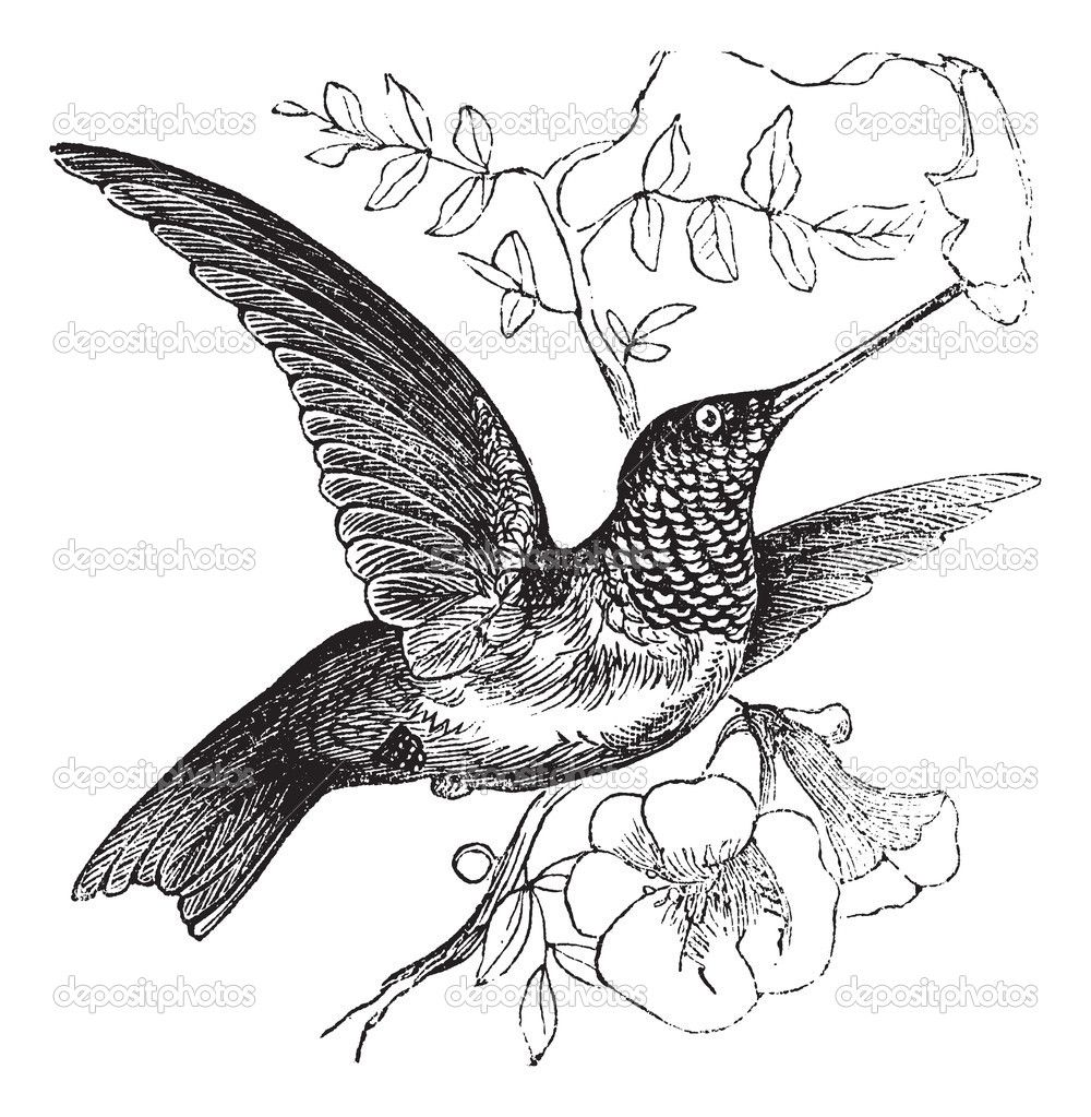 Ruby Throated Hummingbird Or Archilochus Colubris Vintage Engraving Old Engraved Illustration Of A