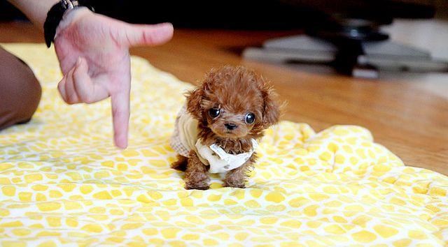 Tiny Micro Teacup Poodle Puppy Teacup Poodle Puppies Micro Teacup Poodle Tea Cup Poodle