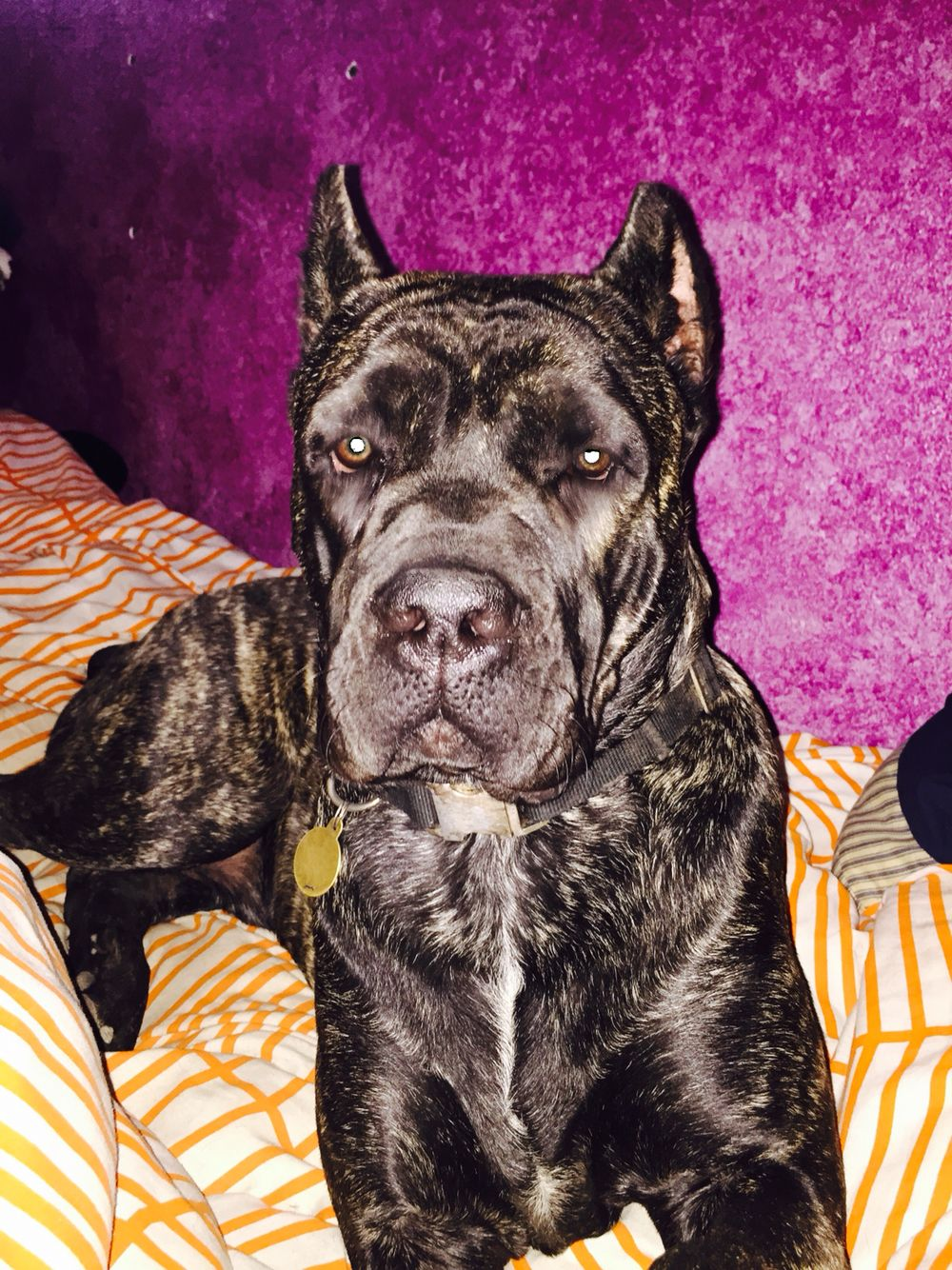 James 10 months   Dogs, puppies, Cane corso, Animals