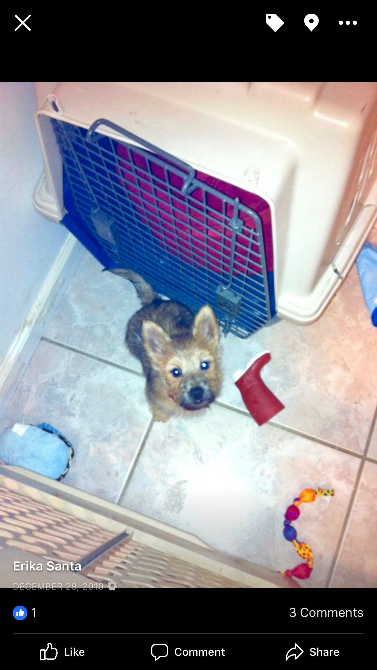 This Is Martini When We Brought Him Home From The Pet Store He Was Cute Then And He Is Even Cuter Today Norwich Terrier Pet Store Pets