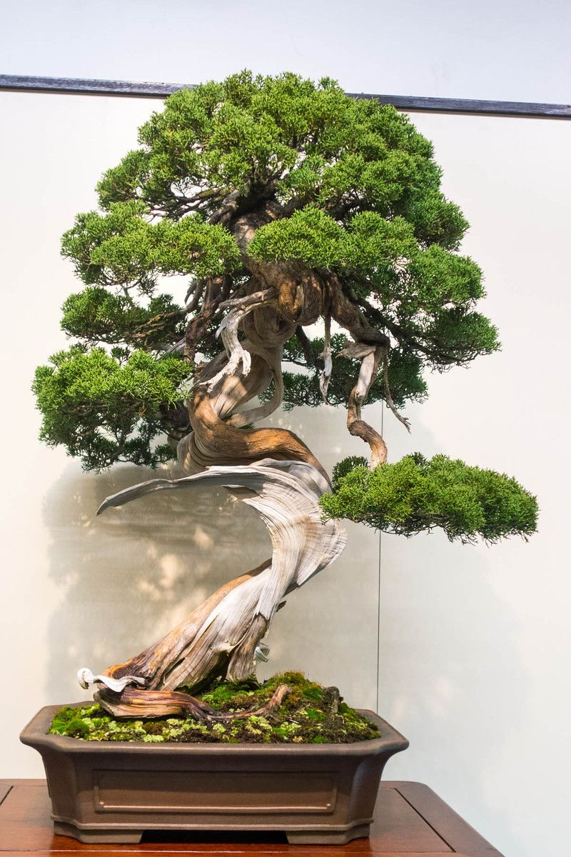 Chinese juniper #bonsai | Bonsai!! | Bonsai, Juniper ...