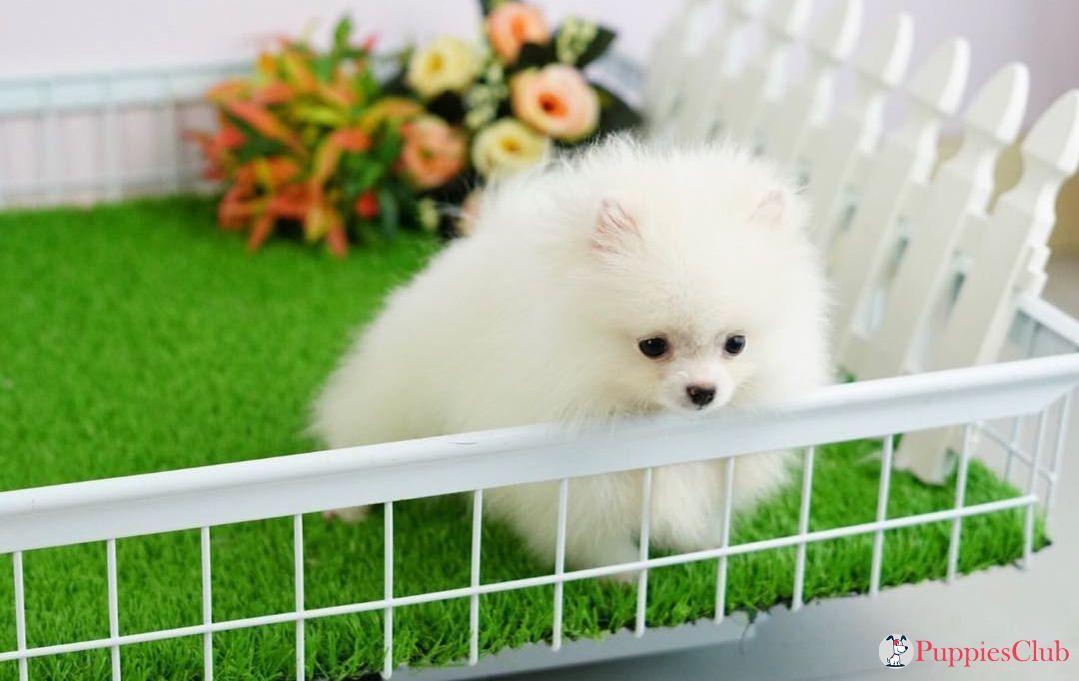 Teacup Pomeranian Puppies #teacuppomeranianpuppy Cutest Teacup Pomeranian Puppies. #teacup #pomeranian #teacuppomeranian #micropomeranian #teacuppom #minipomeranian #teacuppomeranianpuppy