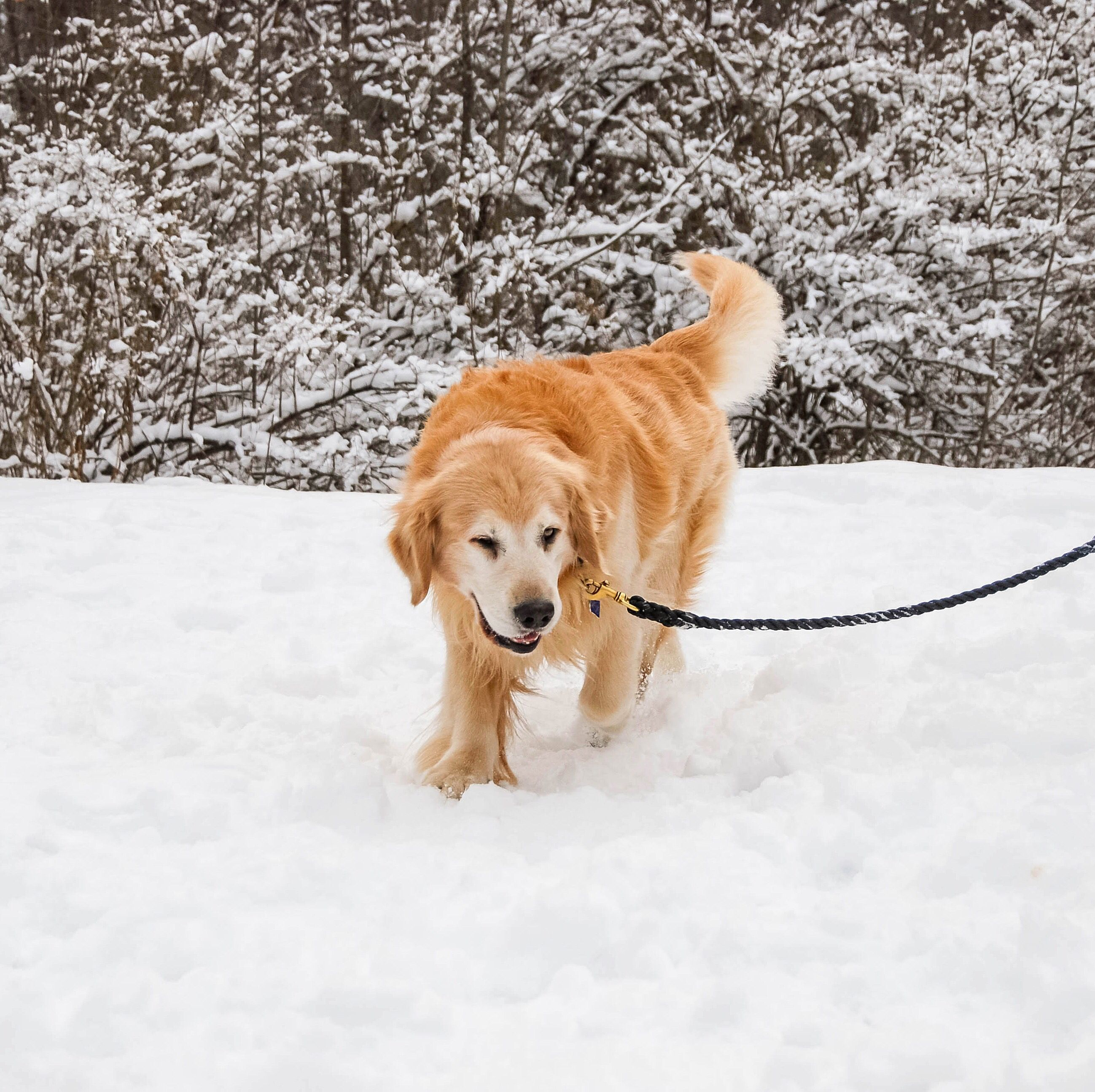 Handsome Golden Retriever Loving Life During Winter In Maine