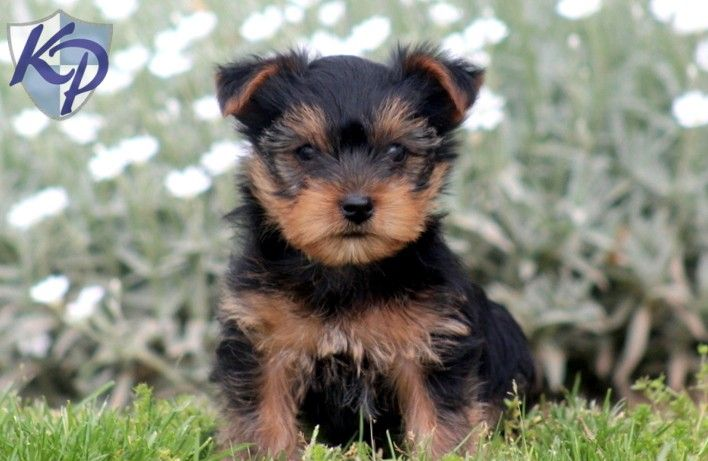 Puppy Finder Find Buy A Dog Today By Using Our Petfinder With Images Yorkie Puppy