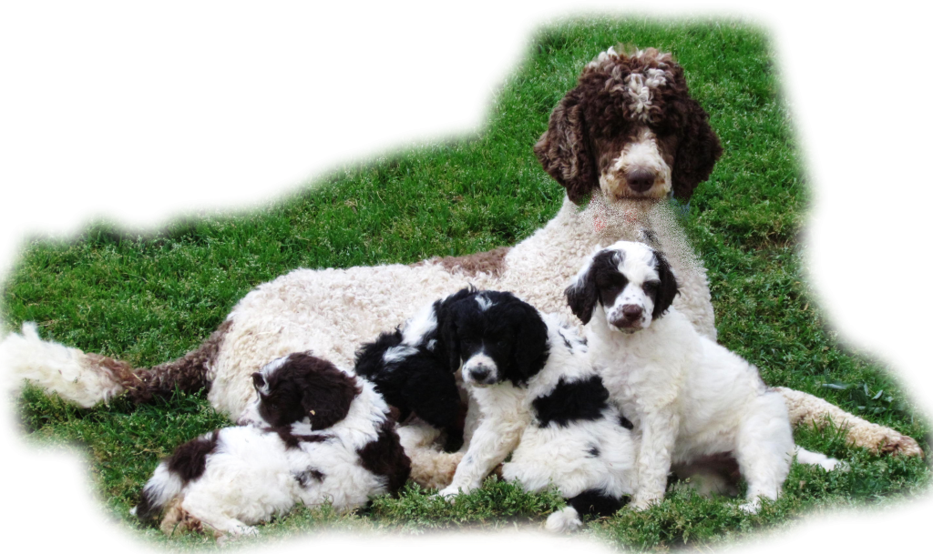 Poodle Rescue Jacksonville Fl Puppies For Sale Poodle Puppies For Sale Poodle Puppy