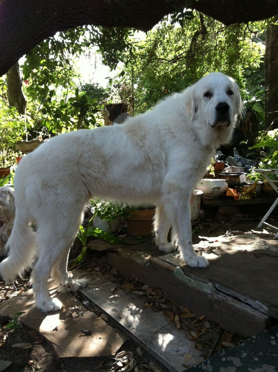 Samwise With Images Great Pyrenees Dog Great Pyrenees Top