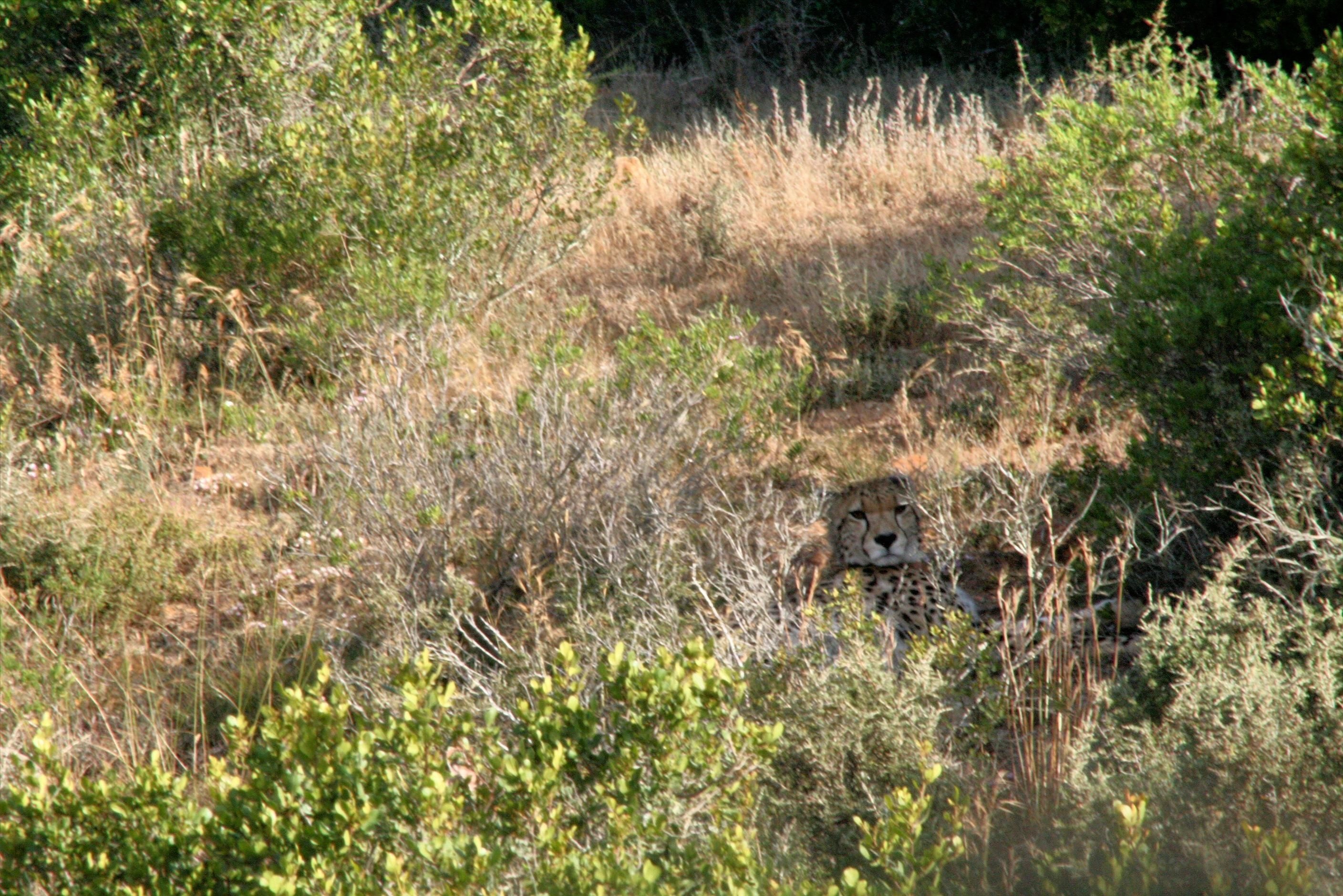 Cheetah, Garden Route Game Lodge, South Africa
