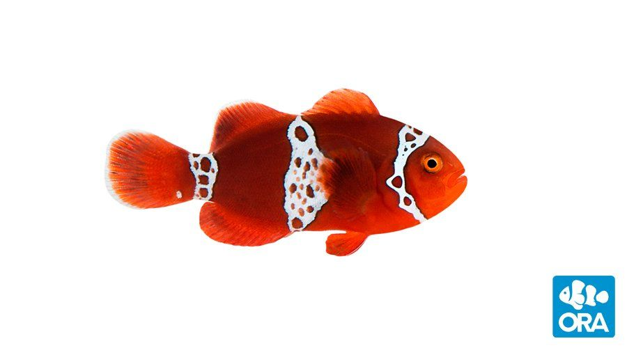 The Spectacular Lightning Maroon Strikes Ora Bring Home This Extraordinary Clownfish From A Fish Store Near You