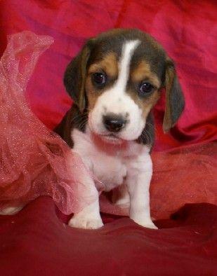 Beagle Puppies For Sale Missouri Mo Beagle Puppy Beagle Pups
