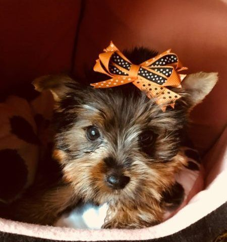 Near Chicago Yorkie Puppies Teacup Puppies For Sale Teacup