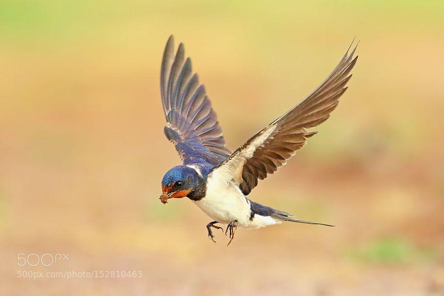 Barn Swallow by Roy-Avraham. @go4fotos