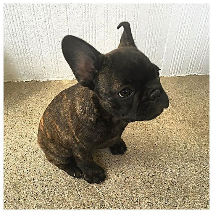 When you come home to this face after a crumby day.  Now all I need is my @dani_bender. #dixonthefrenchie #frenchbulldog #frenchie #puppy #petstagram #dogstagram #family #familyfirst #pets #secondson #cutenessoverload #puppiesofinstagram #love #doglife #smalldogs #paws #mansbestfriend #brindle #bulldog #puppylove #akc #pedigree  Photo By: garyfamous  http://bit.ly/teacupdogshq