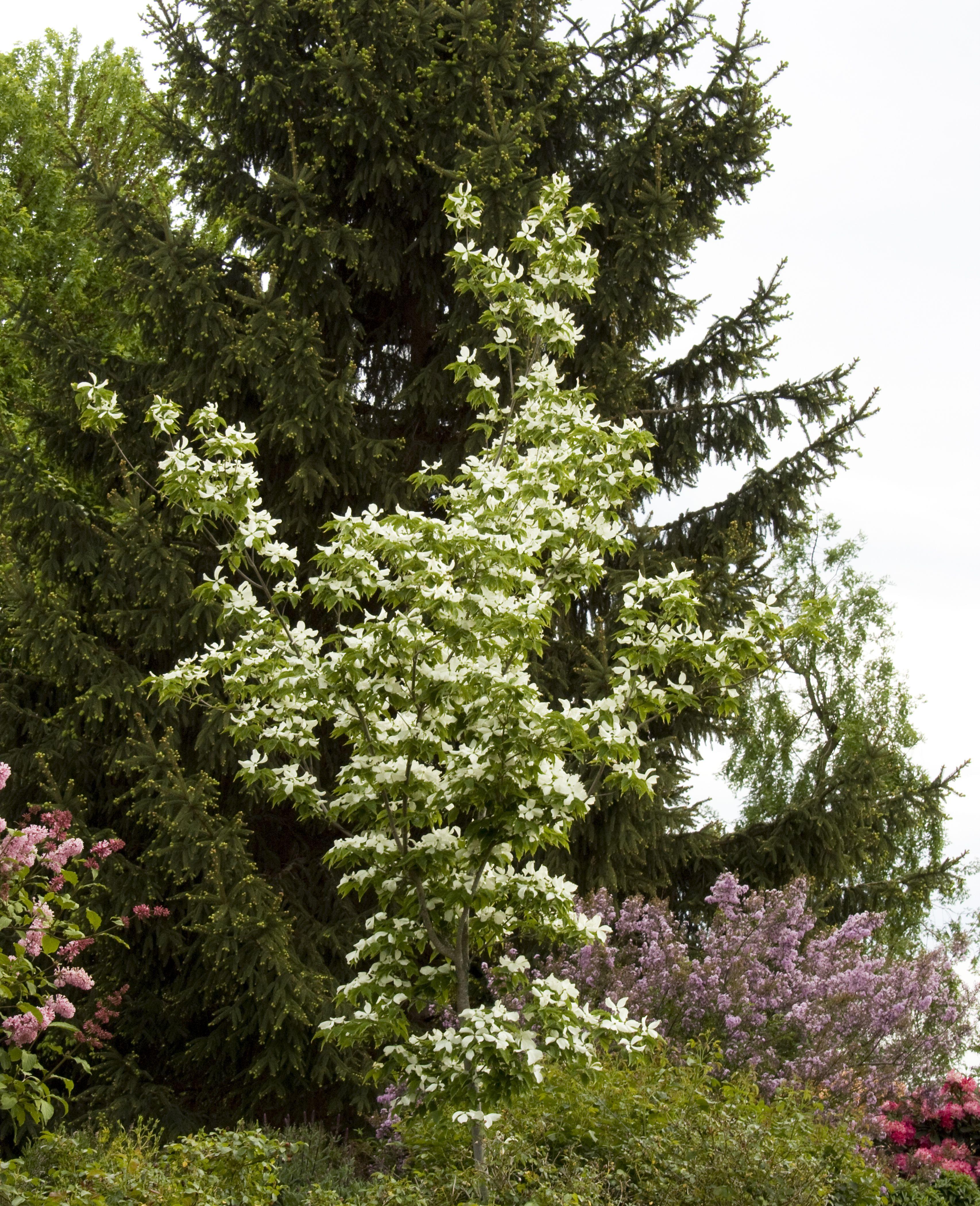 Aurora Dogwood Tree Monrovia Garden Trees To Plant