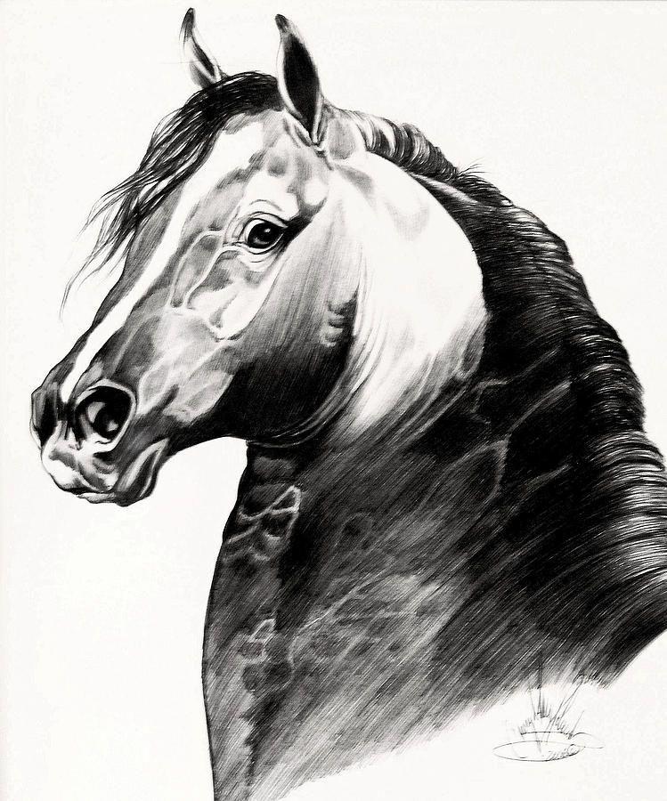 Black Morgan Stallion Drawing