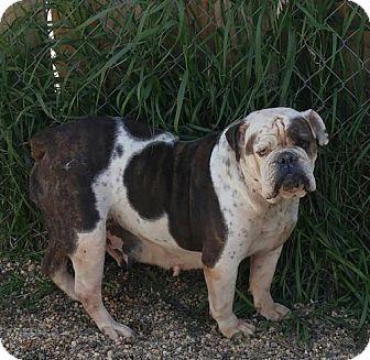 St. Louis Park, MN - English Bulldog. Meet Gertrude, a dog for adoption. http://www.adoptapet.com/pet/14287722-st-louis-park-minnesota-english-bulldog