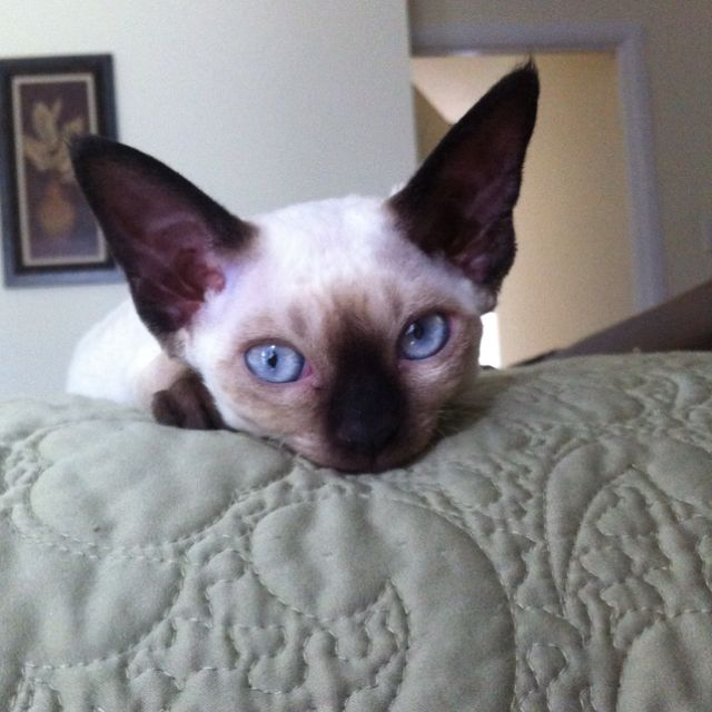 My Beautiful Seal Point Devon Rex Coco Devon Rex Cats Rex Cat Pretty Cats
