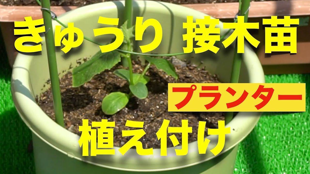 きゅうりの育て方 植え付け編 土の事前準備 接木苗購入 Youtube