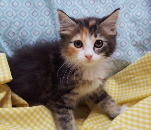 Meet Corina 22683 A Petfinder Adoptable Domestic Medium Hair Cat Prattville Al Corina Is An 8 9 Week Old Medium Hair Cat Adoption Calico Kitten Adoption