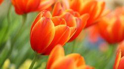 tulipán, rügyek, virágok, tavaszi, virág, tulipán