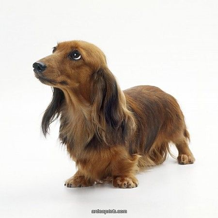 Long Haired Dachshund What A Beauty Dachshund Puppies