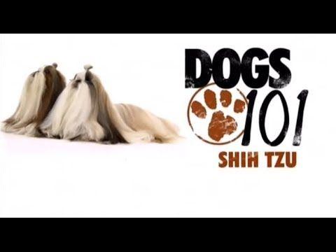 Lion Dog All About Shih Tzu Video Shih Tzu Shih Tzu Dog
