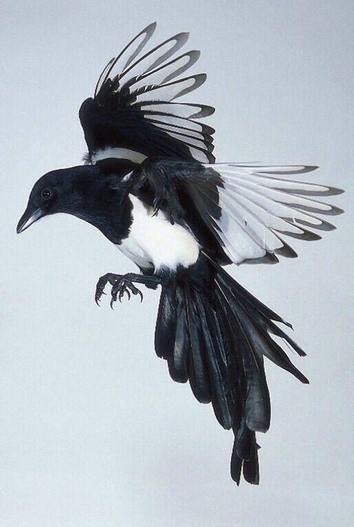 Magpie | Amazing animals! | Pinterest | More Magpie ideas