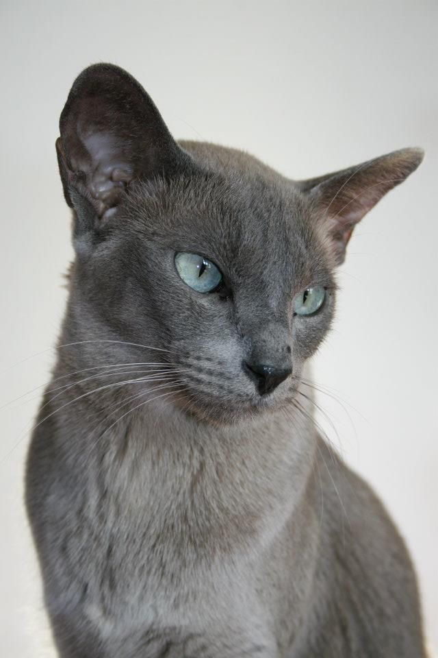Tonkinese Blue Mink Tonkinese Cat Cat Breeds Siamese Cats Blue Point