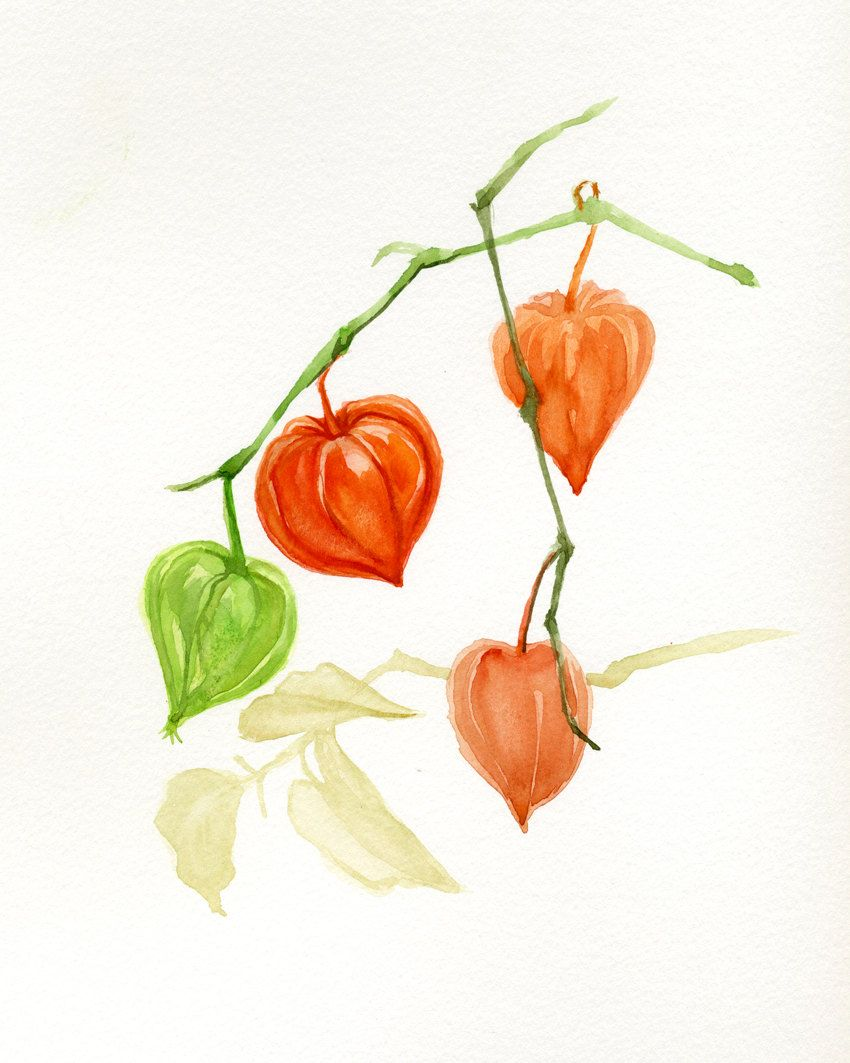 Fall Flowers Chinese Lantern Bladder Cherry Orange Watercolor