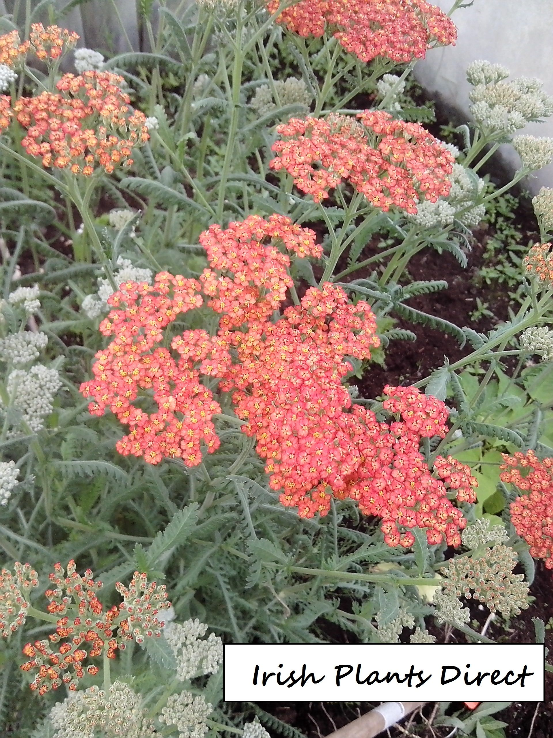 Achillea The Beacon Flat Heads Of Dark Red Flowers With Yellow