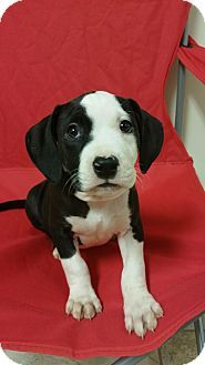 American Staffordshire Terrier Puppy For Adoption In Lima Ohio Kali Puppy Adoption American Staffordshire Terrier American Staffordshire Terrier Puppies
