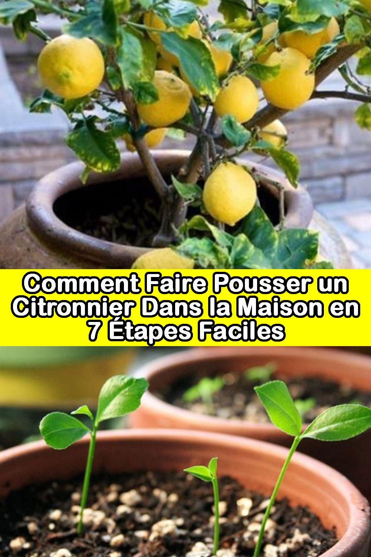 Comment Cultiver Un Citronnier En Pot comment faire pousser un citronnier dans la maison en 7