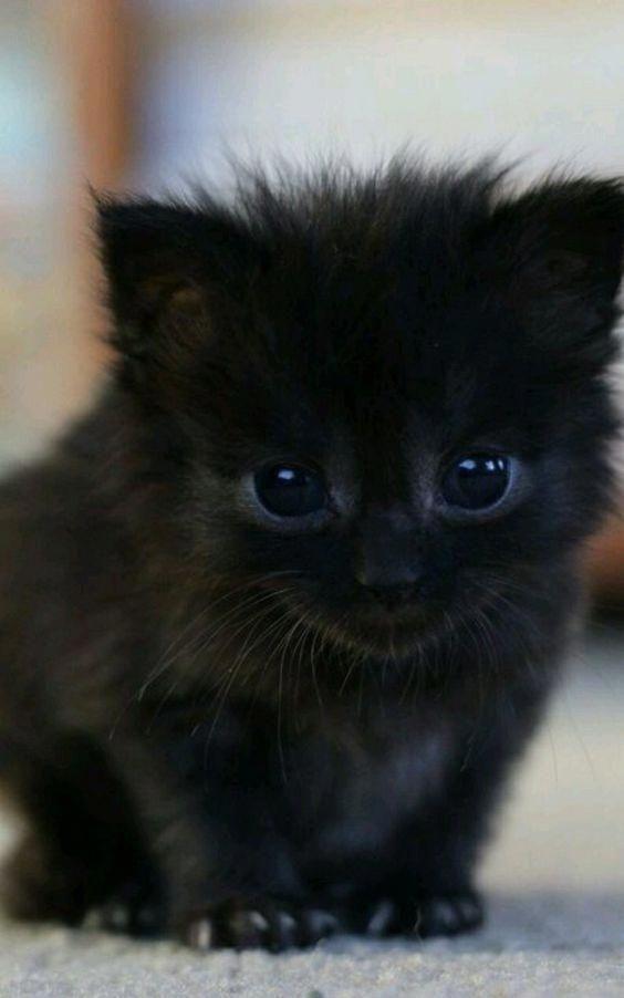 Fluffy black kitten #catsandkittens | Gatos bonitos, Gatos ...