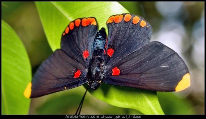 صور اجمل فراشات ملونة جديدة Butterfly Wallpaper Butterfly Wallpaper Backgrounds Swallowtail Butterfly