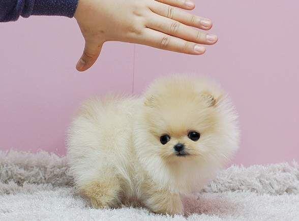 Micro Mini Pomeranian For
