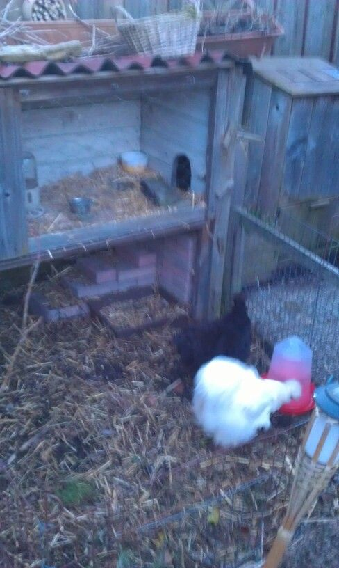 Silkies; the white one is calked Nugget and the brown one Muffin