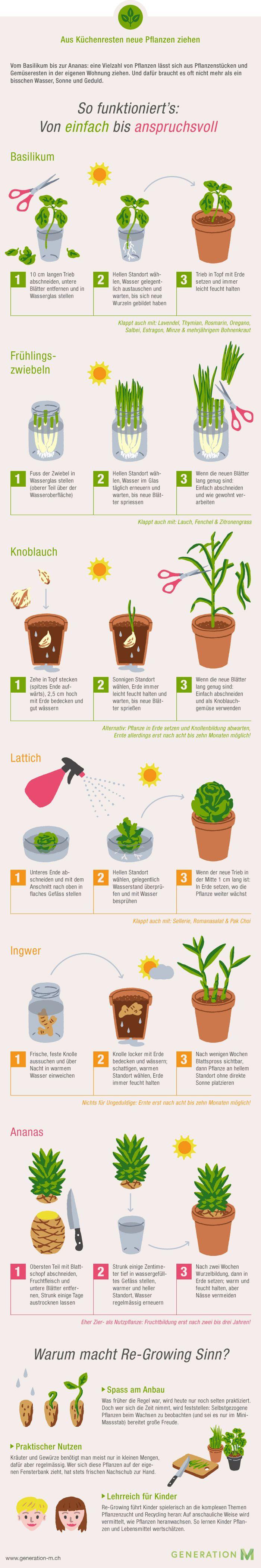 Die Infografik zeigt Ihnen wie Sie aus Küchenresten neues Gemüse ziehen. Drucken Sie die Grafik aus und ziehen Sie Ihr eigenes Gemüse. Viel Spass! #gemüsepflanzen