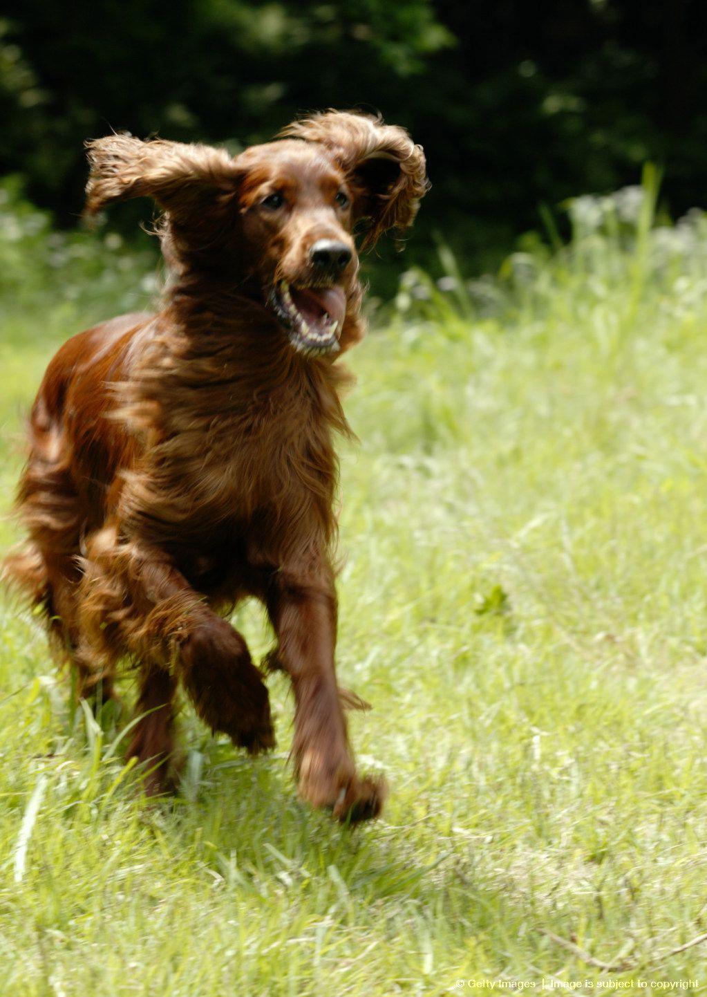 Irish Setter dog art portraits, photographs, information
