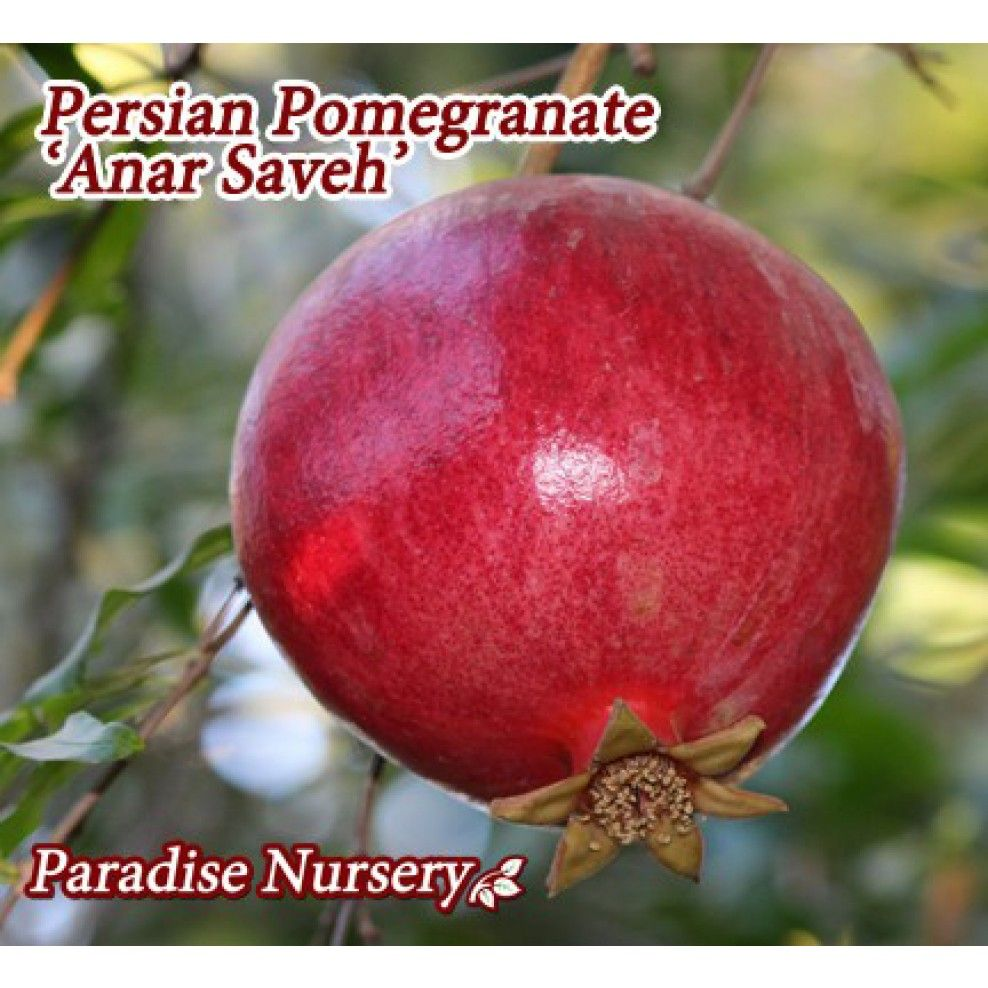 Persian Pomegranate - Red 'Anar Saveh' (ا نار ساوه ... Persian Pomegranate Trees For Sale