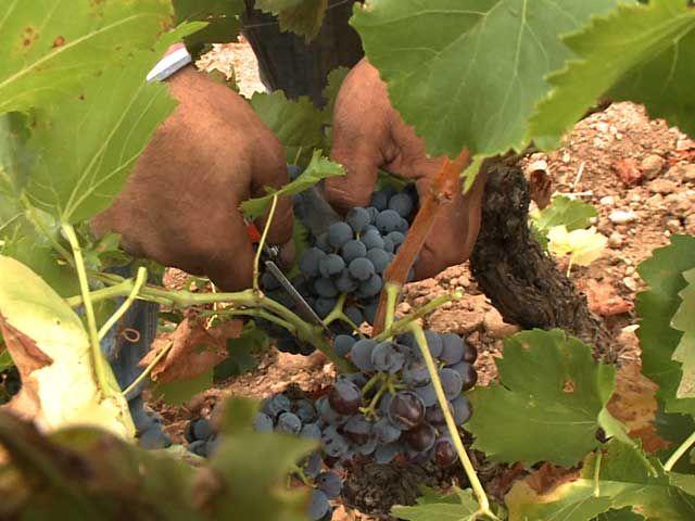 Vineyard Harvest Autumn La Rioja Spain