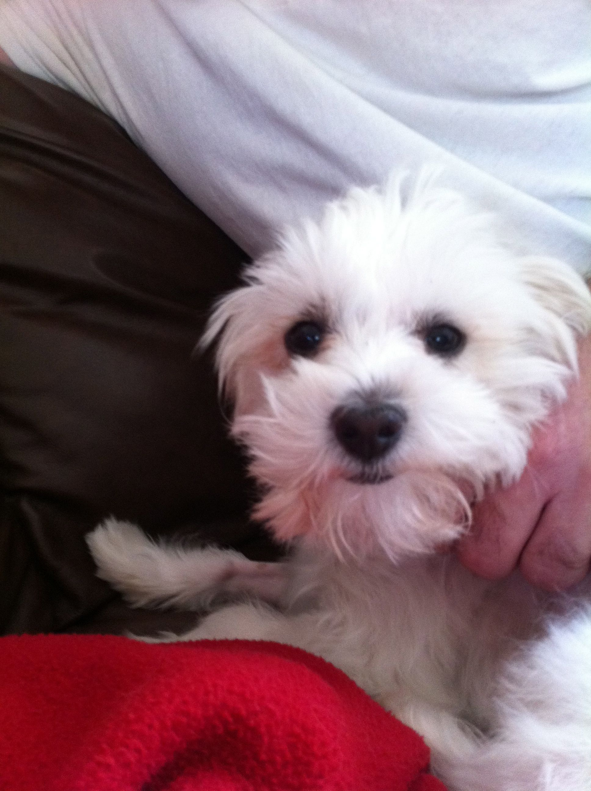 Guenny The Maltese Jack Russel Mix Adorable Brilliant And A