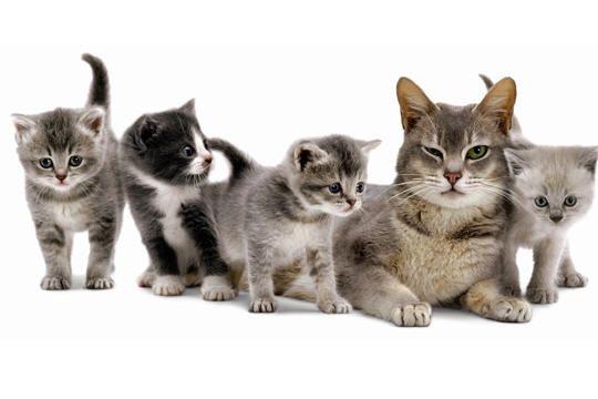 """Résultat de recherche d'images pour """"reproduction des chats"""""""