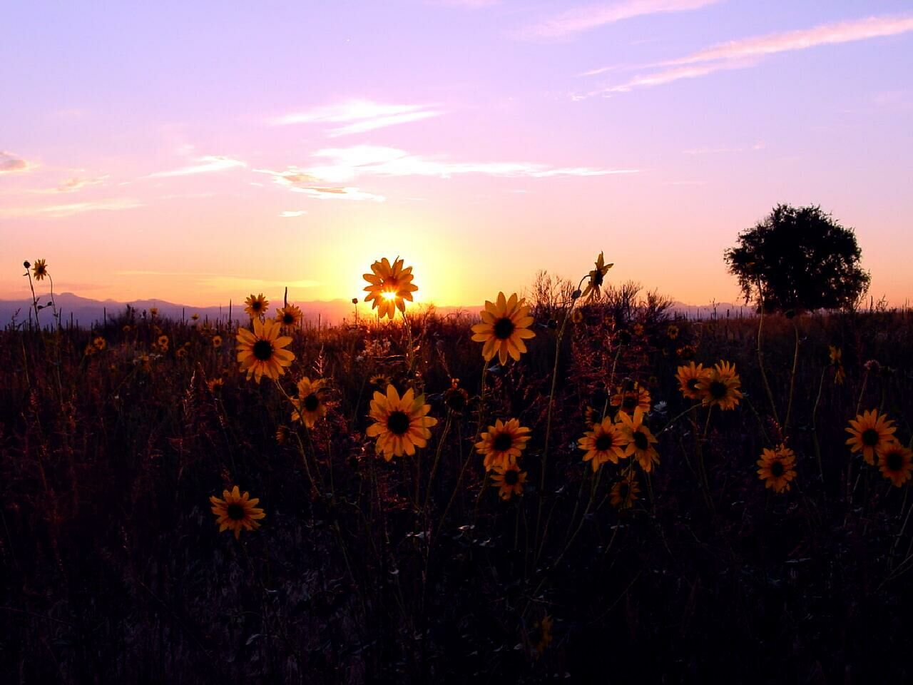 A Blooming Flower With Sunset Beautiful Backgrounds Sunset Sunflower Sunset