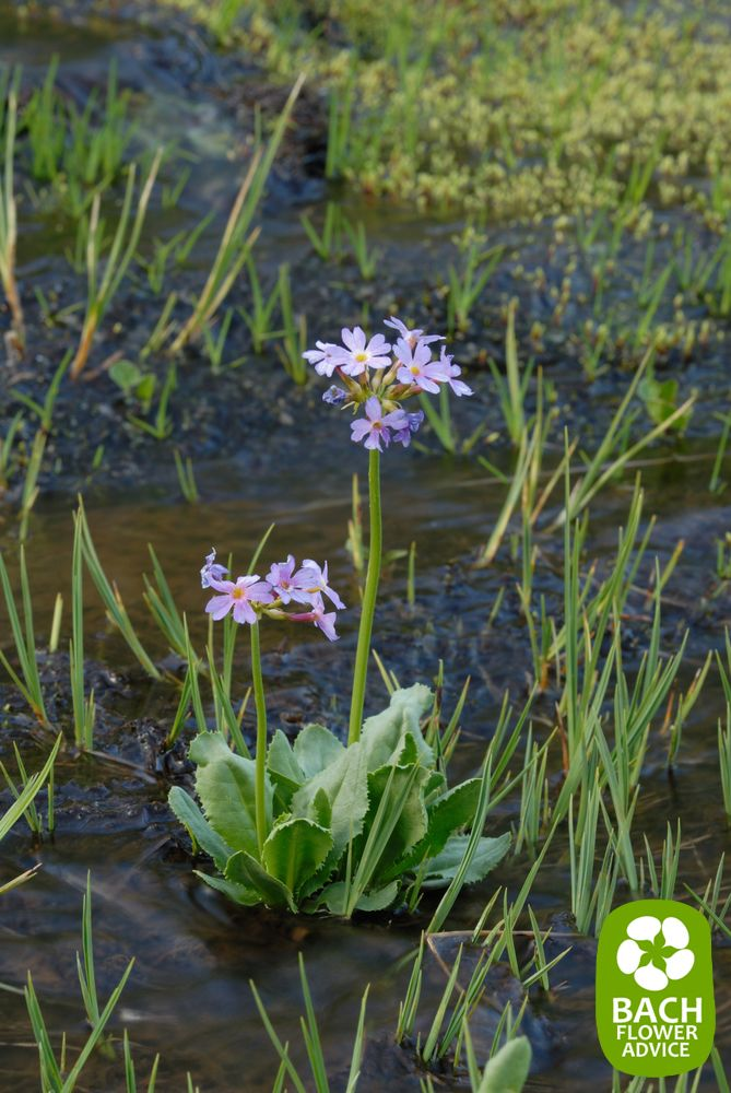 Bach Flower Essence Water Violet Hottonia Palustris Bach Flower Remedies Flower Essences Bach Flowers