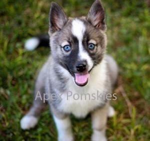 Pomsky Puppy Here Ya Go Sherry Joanette A Husky That Stays Puppy Size Forever Too Cute Pomsky Puppies Pomsky Pomeranian Puppy